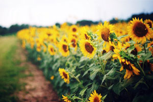 sunflower-fields